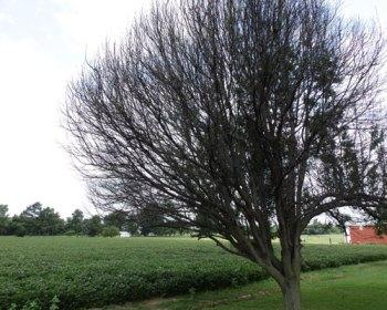 dead ornamental tree next to soybean field