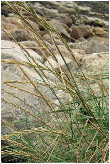 Coutch Irish Grasses - Sea X Sand Couch, Elytrigia X Acuta