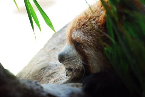 ズーラシア レッサーパンダ