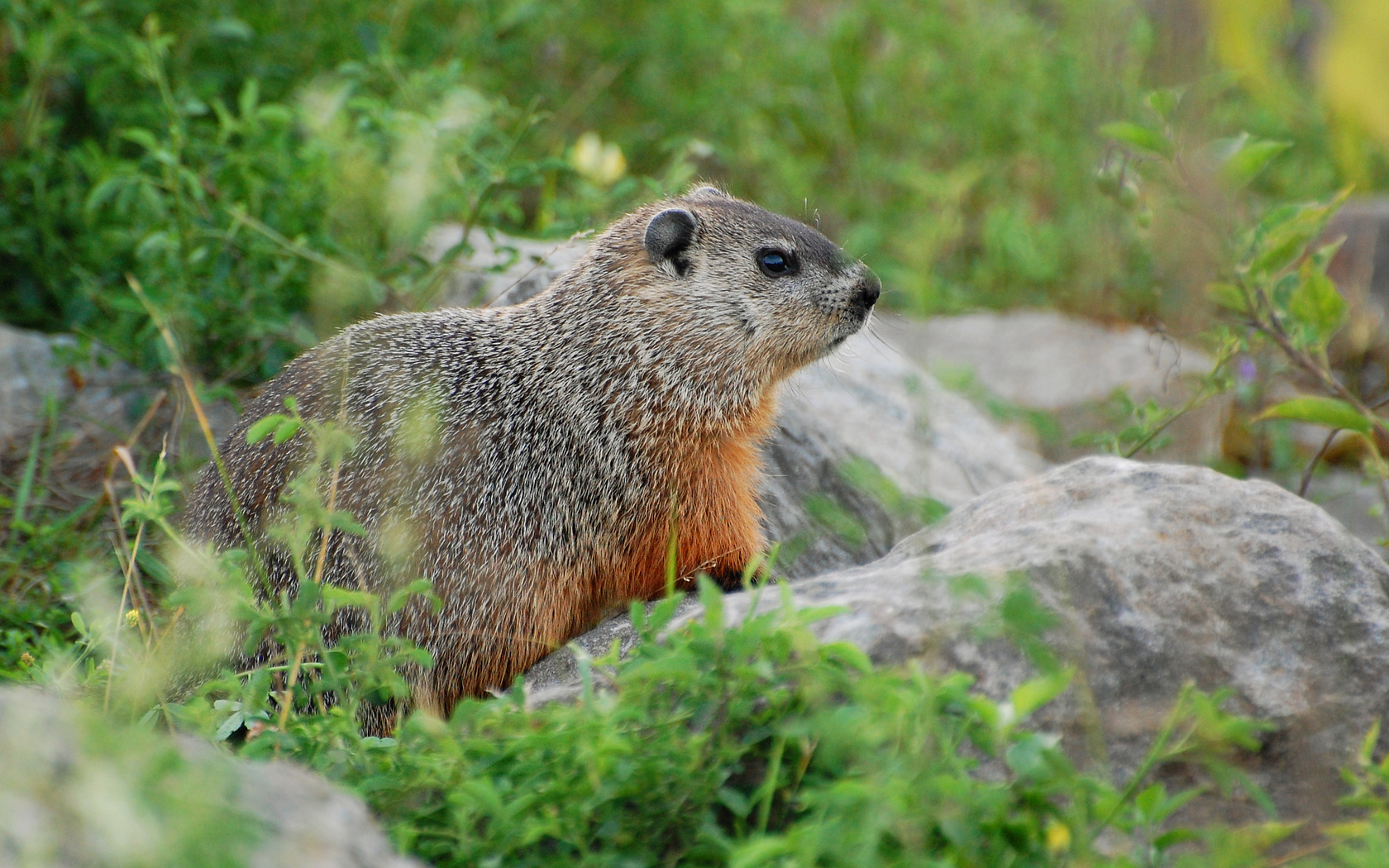 Groundhogs Suzanne Britton Nature Photography Groundhog