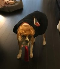Boxer Dogs on Halloween