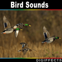 Duck Flying and Passing Digiffects Sound Effects Library MP3