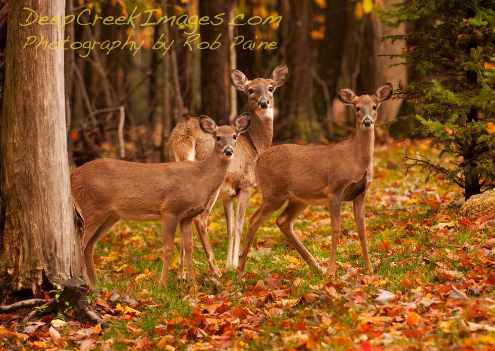 Fall Deer Wallpaper Three Deer In Autumn At Deep Creek Lake Md I See