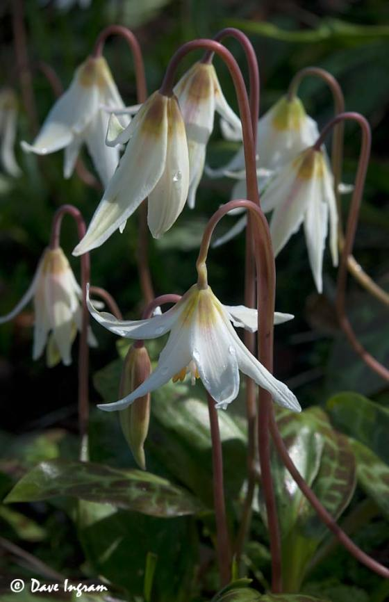 Trail-side White Fawn Lilies (Erythronium oregonum)