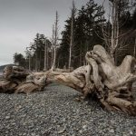 Drift Logs at Rialto Beach
