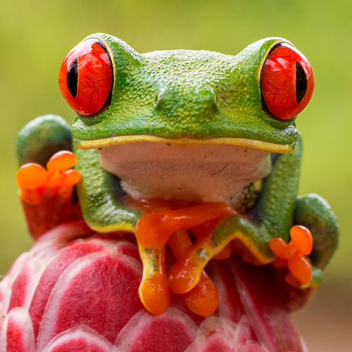 costa rica red eyed frog