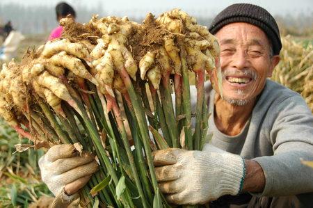 Penelitian Tentang Jagung Penelitian Kualitatif Metode Penelitian Kualitatif Penelitian Intensif Tentang Jahe Di China Bisa Menghasilkan Produksi