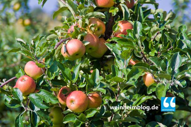 Auf den Breitwiesen wachsen auch Äpfel.