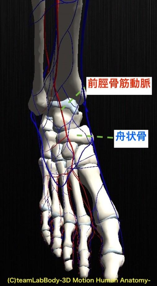 前脛骨筋動脈