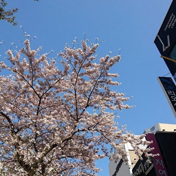 今日の釜山は青空で、桜も満開で、素敵な1日が過ごせました。夜はチムジムバン&垢すり&よもぎ蒸し&コラーゲンのフェイシャルパックをして、全身ツルツル☆あぁ、これぞ韓国!#釜山 #青空 #桜
