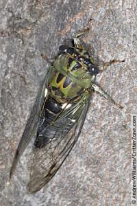 green-cicada