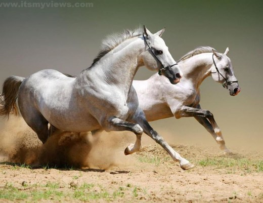 Pakistan-army-horse-picture