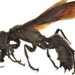 世界最大級のスズメバチ「ガルーダ」が超怖い!【世界巨大生物シリーズ】