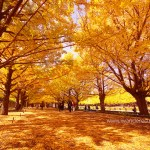 Brilliant Autumn Colors in Tokyo's Showa Kinen Park