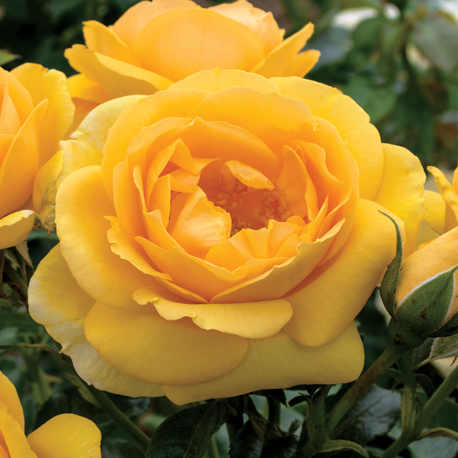 Rose Soaring To Glory Floribunda Rose