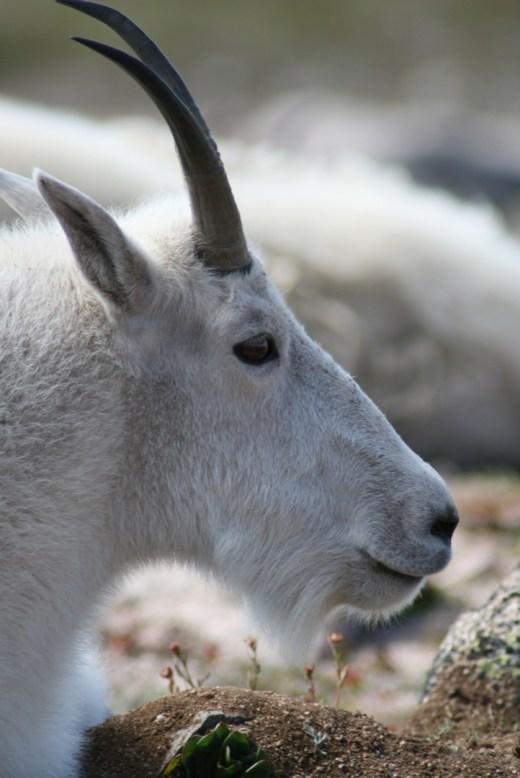 evans_goat_1080