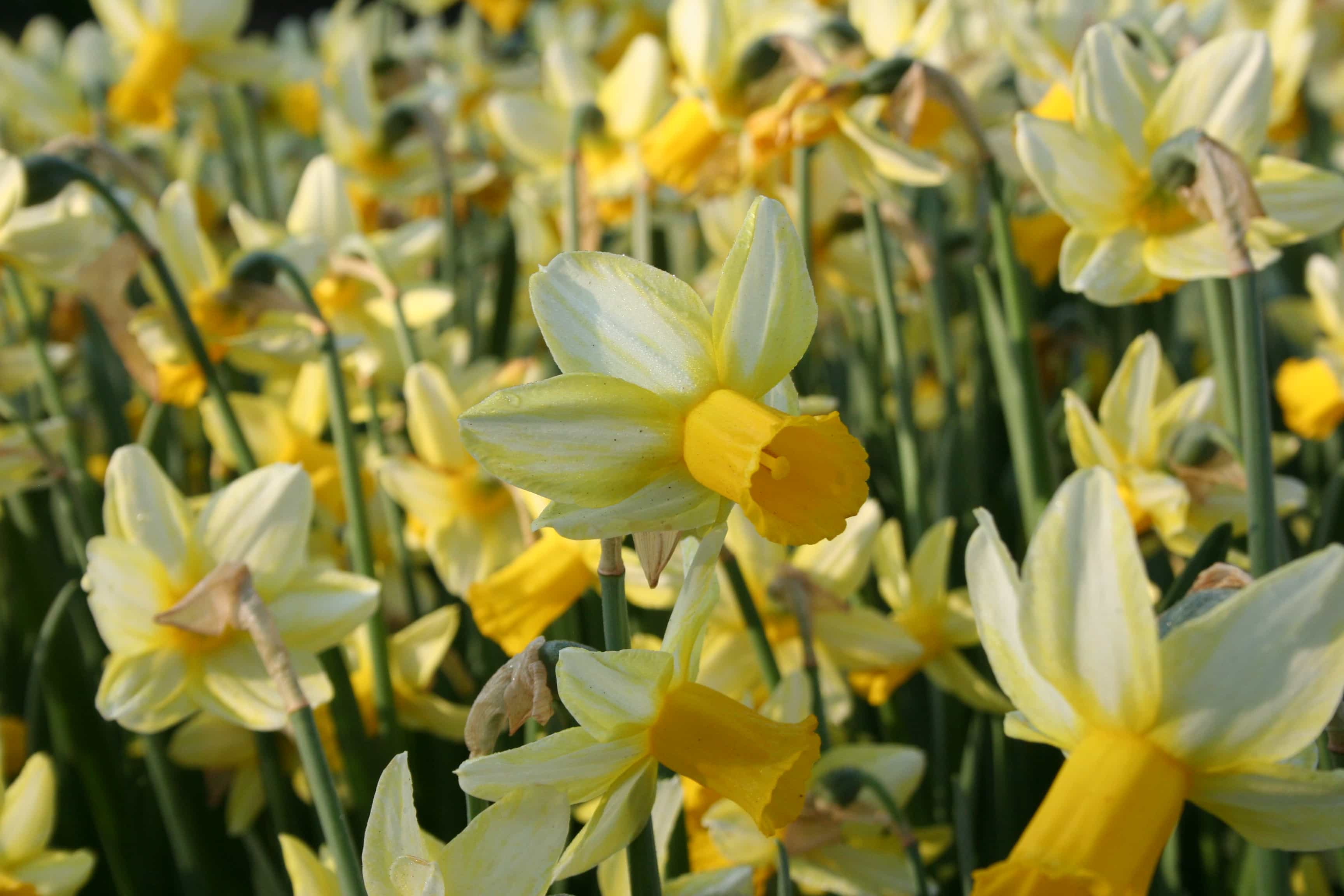 Narcissus Cyclamineus Mother Duck Jacques Amand Intl