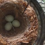 long-finch-eggs-hatch_27ac4b4f6f5d6086
