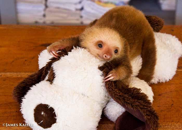 Cute Sloth Wallpaper Photos Of Adorable Baby Animals In Costa Rica James Kaiser