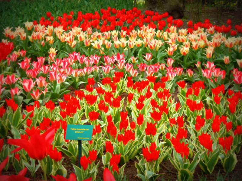 A kaleidoscope of color - Holland's Tulip Fields (3/6)
