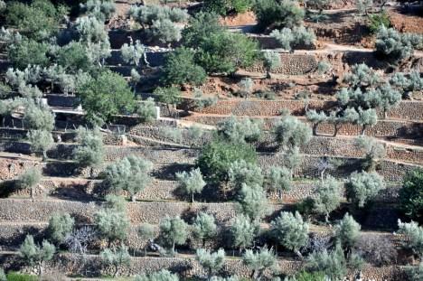 Tarasy oliwne są wszędzie. Powciskane na zboczach gór pomiędzy starymi kamiennymi miasteczkami.