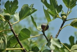 Zdjęcie neutralne - figi. Zapowiedź zmiany tematu ;) Przy okazji: figi i oliwki rosną w Albanii jak chwasty. Co najważniejsze - dają cień!