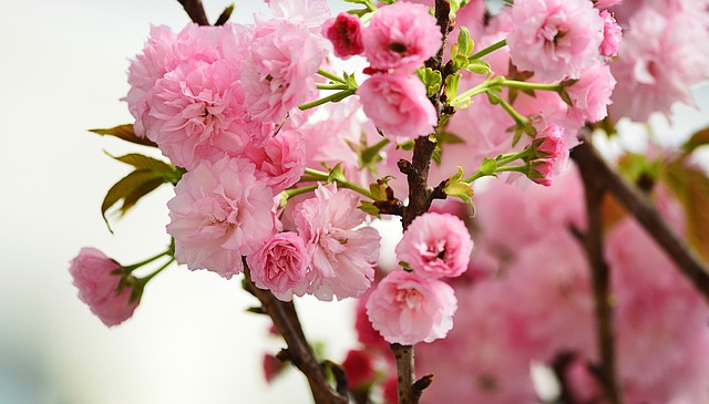 Cherry_Blossoms_travel-685571_640