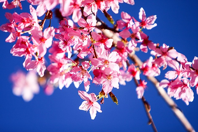Middle_West_cherry-blossoms