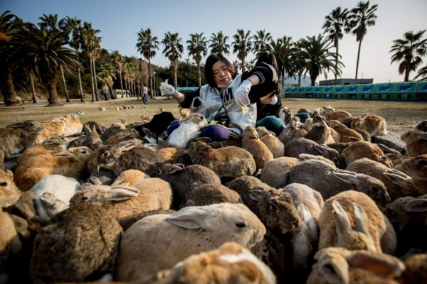 "TAKEHARA, JAPAN - FEBRUARY 24: Two tourists sit and feed hundreds of rabbits at Okunoshima Island on February 24, 2014 in Takehara, Japan. Okunoshima is a small island located in the Inland Sea of Japan in Hiroshima Prefecture. The Island often called Usagi Jima or ""Rabbit Island"" is famous for it's rabbit population that has taken over the island and become a tourist attraction with many people coming to the feed the animals and enjoy the islands tourist facilities which include a resort, six hole golf course and camping grounds. During World War II the island was used as a poison gas facility. From 1929 to 1945, the Japanese Army produced five types of poison gas on Okunoshima Island. The island was so secret that local residents were told to keep away and it was removed from area maps. Today ruins of the old forts and chemical factories can be found all across the island. (Photo by Chris McGrath/Getty Images)"