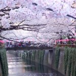Meguro River, The Best Hanami (Cherry Blossom) Spot in Tokyo