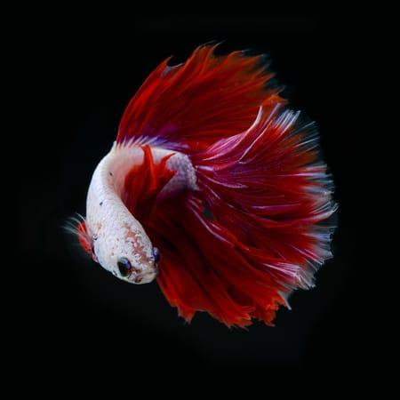 Design A Wallpaper For Iphone Betta Fish Tail Types Betta Fish Care