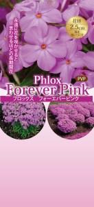 phlox-foreverpink7