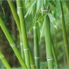 bambu a