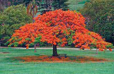 390delonix regia O flamboyant