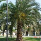normal_Phoenix_Canariensis_01