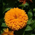 calendula-69024_640