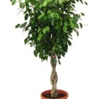1-ficus