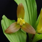 Lycaste lasioglossa