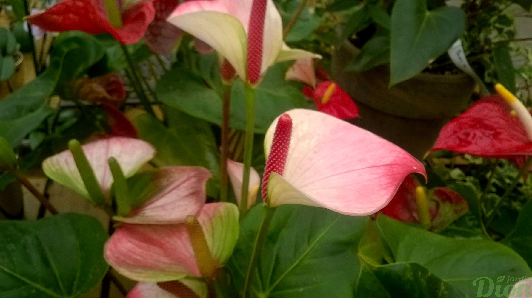 Glace Decoration Anthurium Andreanum | Jardin Dion