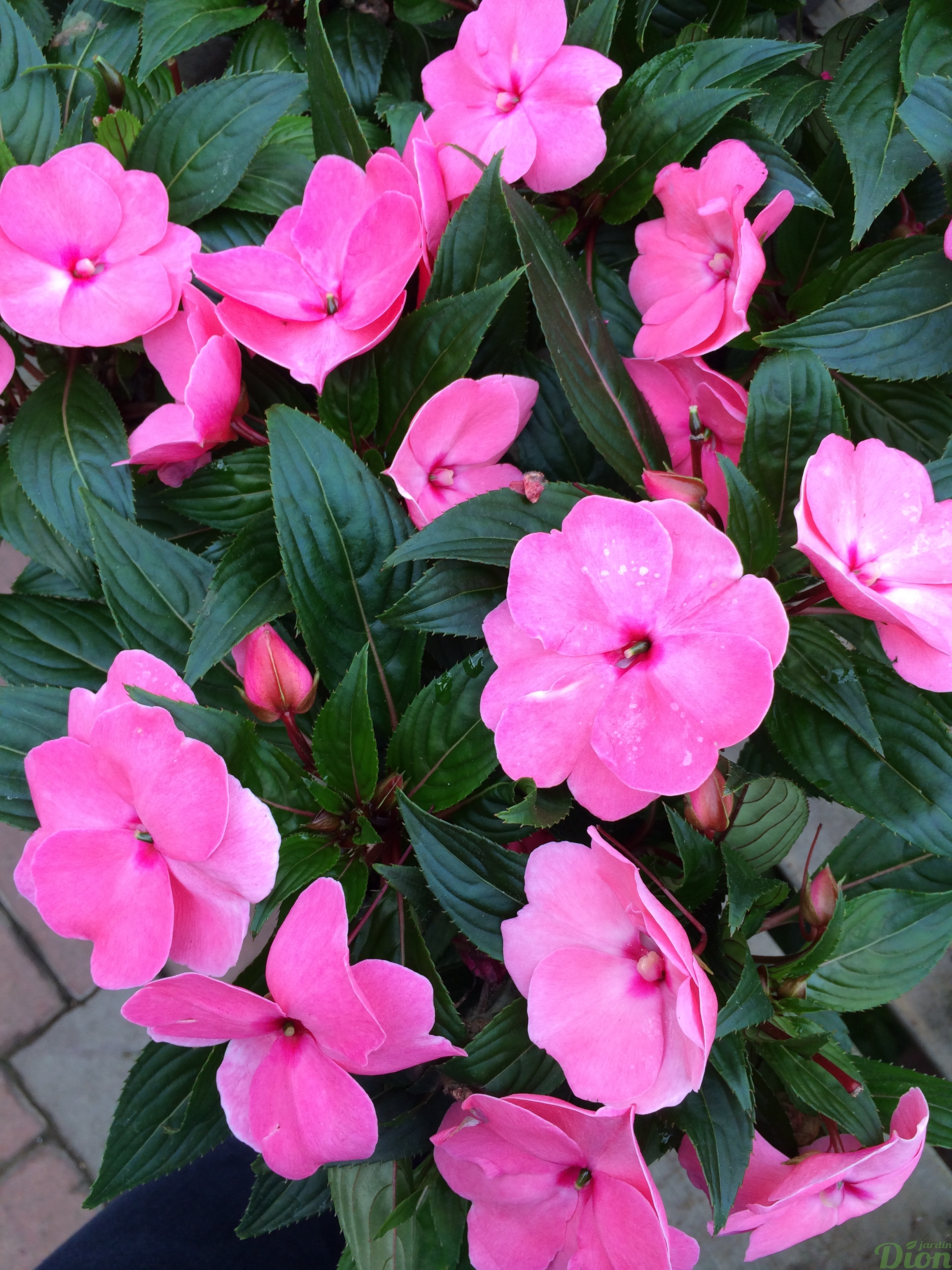 Glace Decoration Impatiens X Hawkeri | Jardin Dion