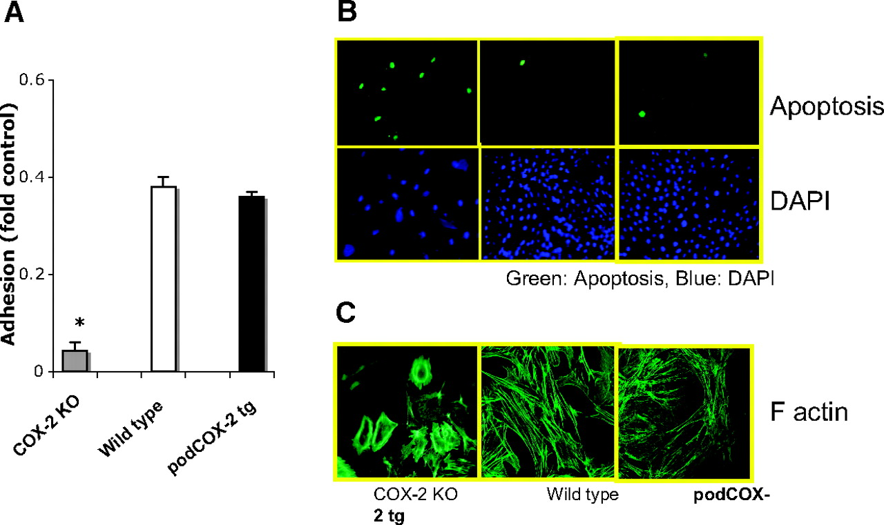 Acr Langenbach Distinct Roles For Basal And Induced Cox 2 In Podocyte Injury
