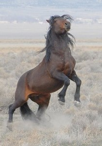 wild stallion rearing up
