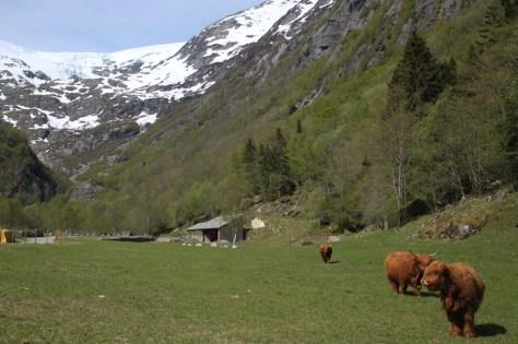 szkockie krowy w norweskiej dolinie