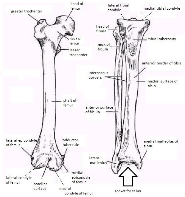 upper leg bones diagram