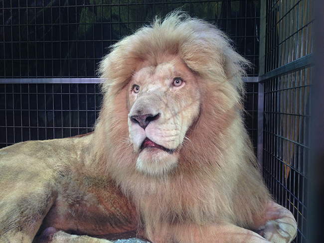 Smoky Mountain Opry in an Uproar Over Addition of White Lion The