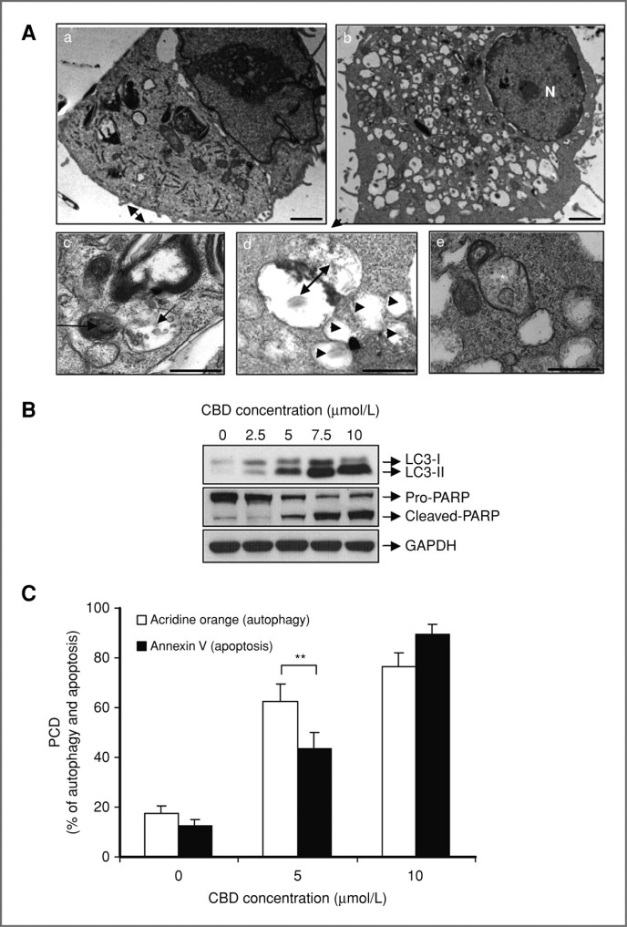 F2.CBD_apoptosis_autophagy_Shrivastava