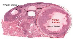 corpus luteum