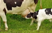 Colostrum Three Times More Effective Than Flu Vaccine