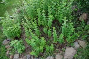 data herbs sm DSC 0204