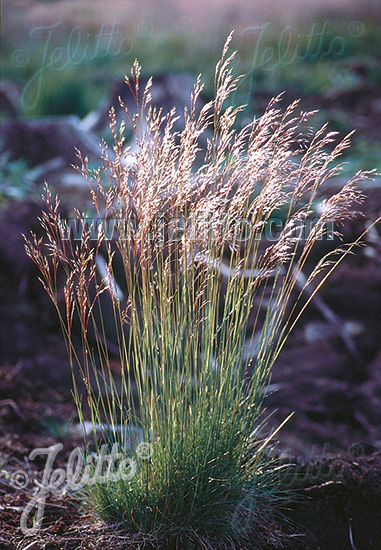 Dach Begrünen Jelitto Staudensamen | Deschampsia Flexuosa Portion(en)